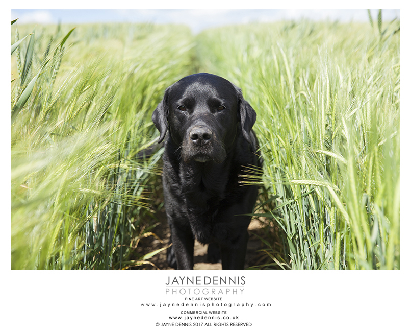 BEAUTIFUL DIGGY IN BARLEY-0652